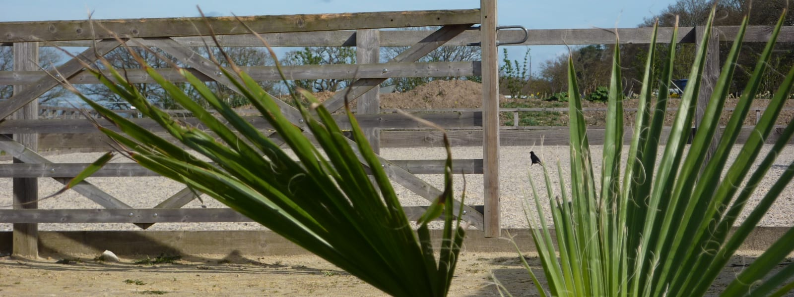 A palm tree in front of the sand school. JAC is situated in 15 acres of Berkshire countryside