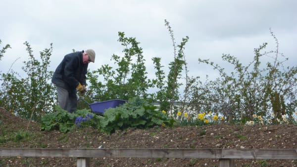 An older volunteer working to clear weeds and stones from a verge with verdant green plants sprouting from the top. The area being cleared will be used for further horticulture work by children in their sessions.